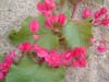 Coral Vine, Chain-of-Love